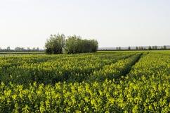 Canola field. Tree line on a Canola filed Stock Photo