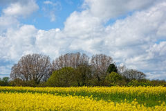 Rapeseed Field with Trees, Blue Sky and Fluffy Clouds Stock Images