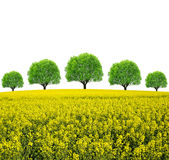 Rapeseed field with trees Stock Image