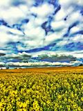 Rapeseed field under thick clouds Royalty Free Stock Image