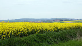 Rapeseed field with village in France. Rapeseed or coleseed in bloom in spring in France royalty free stock photography