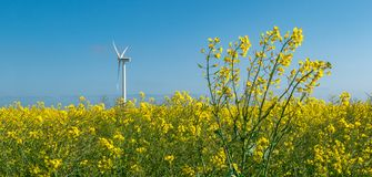 Rapeseed field with windmill in the background stock photography