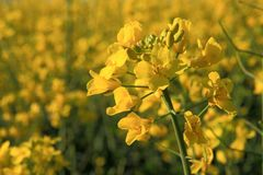Rapeseed field. On a windy spring day Royalty Free Stock Images