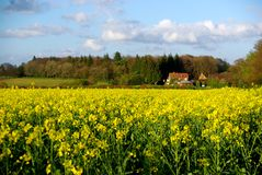 Rapeseed Field, Wotton Stock Photography