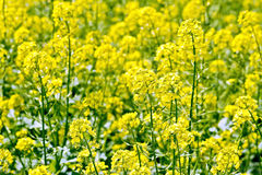 Rapeseed field yellow Royalty Free Stock Images