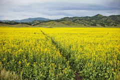 Rapeseed field. Yellow flowers. Mountain Altai landscape. Flowering rapeseed field. Yellow flowers. Mountain Altai landscape Royalty Free Stock Photo