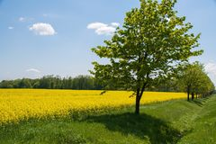 Rapeseed, Field, Yellow, Grassland stock photos