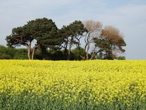 Rapeseed, Field, Yellow, Mustard Plant royalty free stock images
