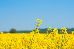 Rapeseed field with yellow plants. In the country royalty free stock photo