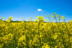 Rapeseed field. Yellow rapeseed field on a sunny day Stock Image