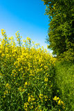 Rapeseed field. Yellow rapeseed field with trees in the background Stock Images