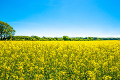 Rapeseed field. Yellow rapeseed field with trees in the background Royalty Free Stock Photo