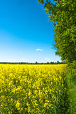 Rapeseed field. Yellow rapeseed field with trees in the background Stock Photos