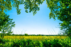 Rapeseed field. Yellow rapeseed field with trees in the foreground Royalty Free Stock Photography