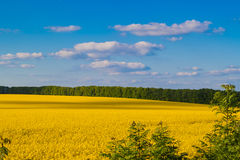 Rapeseed field. Yellow rapeseed field under blue sky, Ukraine stock photos