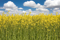 Rapeseed fields Stock Photo
