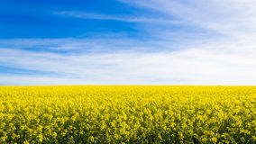 Rapeseed fields along the road to Franschhoek, South Africa Royalty Free Stock Images