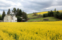 Rapeseed fields Royalty Free Stock Photo