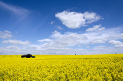 Rapeseed Fields Stock Images