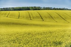 Rapeseed Fields In Chablis. Rolling hills near Auxerre and Chablis are covered with bright yellow mustard flowers. This is typical of a significant farming crop stock images