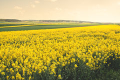 Rapeseed fields Royalty Free Stock Images
