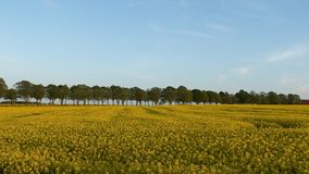 Rapeseed Fields Royalty Free Stock Photos