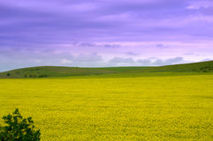 Rapeseed fields sight Royalty Free Stock Photography