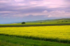 Rapeseed fields sight stock photography
