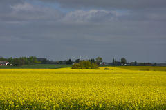 Rapeseed fields in Southern Sweden. Rapeseed fields outside Lund, Sweden. Spring Royalty Free Stock Images
