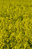 Rapeseed fields in Southern Sweden. Rapeseed fields outside Lund, Sweden. Spring Royalty Free Stock Photos