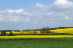 Rapeseed fields in spring Royalty Free Stock Photos