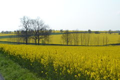 Rapeseed fields in spring Royalty Free Stock Photography