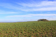 Rapeseed fields on a sunny winter day Stock Photography