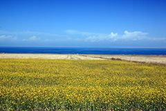 Rapeseed fields surrounding Qinghai Lake Royalty Free Stock Photo