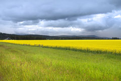Rapeseed fields Stock Image