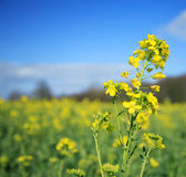 Rapeseed flower. Against a yellow field Stock Images