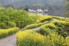 Rapeseed flower blossom in Chinese village Royalty Free Stock Photo