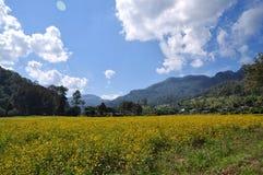 Sunhemp field. Canola, or oilseed rape, or rapeseed in flower or sunhemp field , Thailand Stock Photography