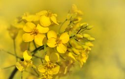 Rapeseed flower Royalty Free Stock Photo