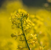 Rapeseed flower in estonia Royalty Free Stock Photo