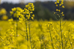 Rapeseed flower in estonia. Country Royalty Free Stock Image