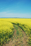 Rapeseed flower field Stock Photo