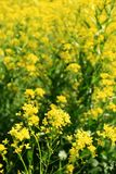 Rapeseed flower field. Close-up view of a field of rapeseed flowers, with the ones at foreground in focus and a blurred background.  Rapeseed (Brassica napus) is Royalty Free Stock Images