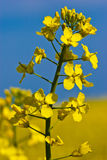 Rapeseed flower in a field as a closeup. Rapeseed flower in a field as closeup Royalty Free Stock Images