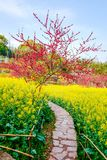 Rapeseed Flower Field In Spring Stock Photos