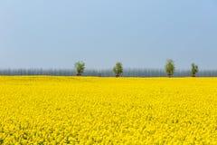 Rapeseed flower field in spring stock image