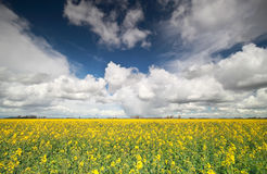 Rapeseed flower field and stormy sky Royalty Free Stock Photos