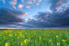 Rapeseed flower field at sunset Stock Images