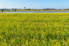 Rapeseed flower field Royalty Free Stock Photos