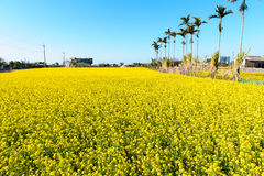 Rapeseed flower field Stock Photography